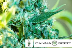 autoflowering canna seed