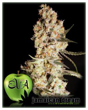 jamaican-dream-eva-seeds