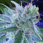 TGA_Subcool_Seeds_-_Jack_the_Ripper