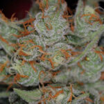 TGA_Subcool_Seeds_-_Space_Bomb