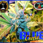 bb blue cheese fem