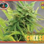 bb cheese auto