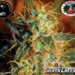 bb silver cheese fem