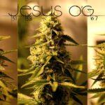 TGA-Seeds-Jesus OG