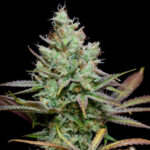 TGA_Subcool_Seeds_-_Pennywise