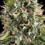 White-Widow-FEM-vision-seeds