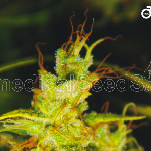 Medical Seeds-2046
