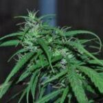 ACE Seeds-Green Haze
