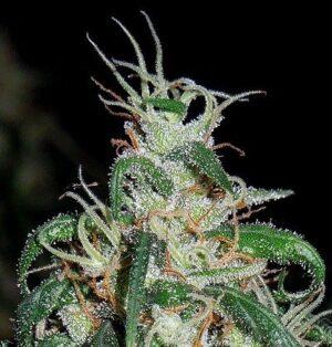 ACE Seeds- Green Haze Thai