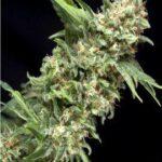 Alpujarrena-Pyramid Seeds