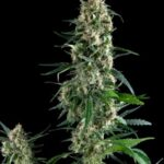 Amnesia-Gold-Pyramid-Seeds