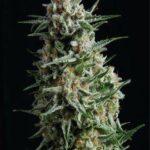 Anesthesia-auto-Pyramid-Seeds