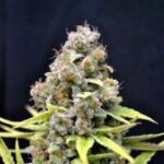 CBD Crew-Shark-Shock-fem