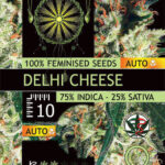 DELHI-CHEESE-FEM-auto-vision-Seeds