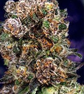 DP blueberry reg