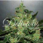 Delicious Seeds-Critical-Jack-Herer-Auto
