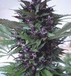 Homegrown Fantaseeds-Homegrown Purple