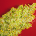 Medical Seeds-JACK LA MOTA