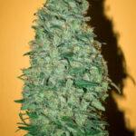 Mandala Seeds-California Dream fem