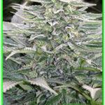 Mandala Seeds-Hashberry
