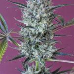 Mandala Seeds-Krystalica