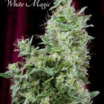 Mandala Seeds-White Magic