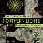 Northern lights AUTO-vision-seeds