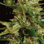 SUPER-SKUNK-AUTOFEM-vision-seeds