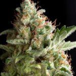 americanPie-Pyramid-Seeds