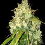 Delicious Seeds-black russian