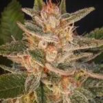 Delicious Seeds-cheese candy