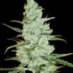 Delicious-Seeds-critical jack herer