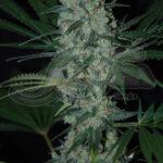 Samsara Seeds-green love potion fem