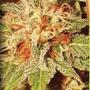 Homegrown Fantaseeds-california orange