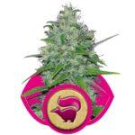royal queen seeds skunk xl