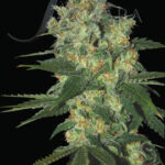 Samsara Seeds-shot adrenalin auto