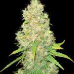 Delicious Seeds-sugar black rose