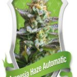Amnesia Haze automatic - Royal Queen Seeds