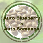 Bulk-Seeds-Auto-Blueberry-x-Somango