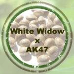 Bulk-Seeds-WW-x-AK47