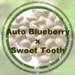 Bulk-Seeds-auto-blueberry-x-sweet-tooth