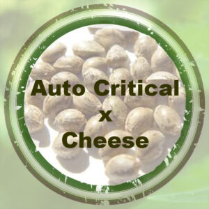 Bulk-Seeds-auto-critical-x-cheese