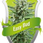 Easy Bud - Royal Queen Seeds