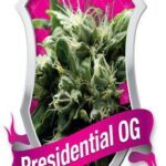 Presidential OG - Royal Queen Seeds