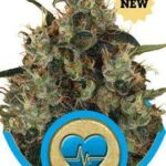 Medical Mass fem - Royal Queen Seeds