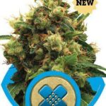 Painkiller XL fem - Royal Queen Seeds