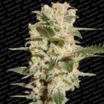 belladonna - paradise seeds
