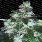 original white widow - paradise seeds
