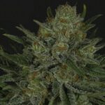 Ripper Seeds Double Glock
