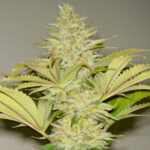 resin-seeds-bubblicious fem